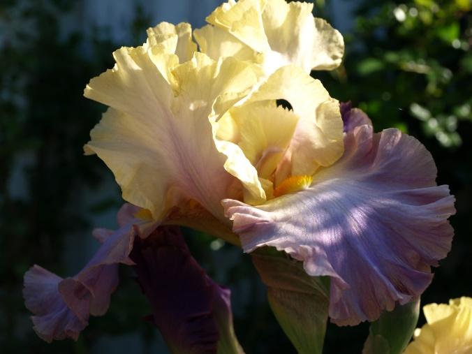 Iris barb. Häuschen (8).JPG