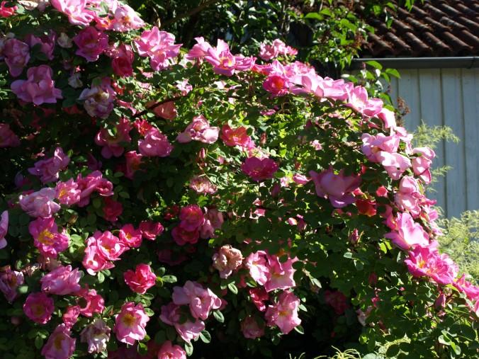 Rosa 'Marguerite Hilling'82 (3).JPG