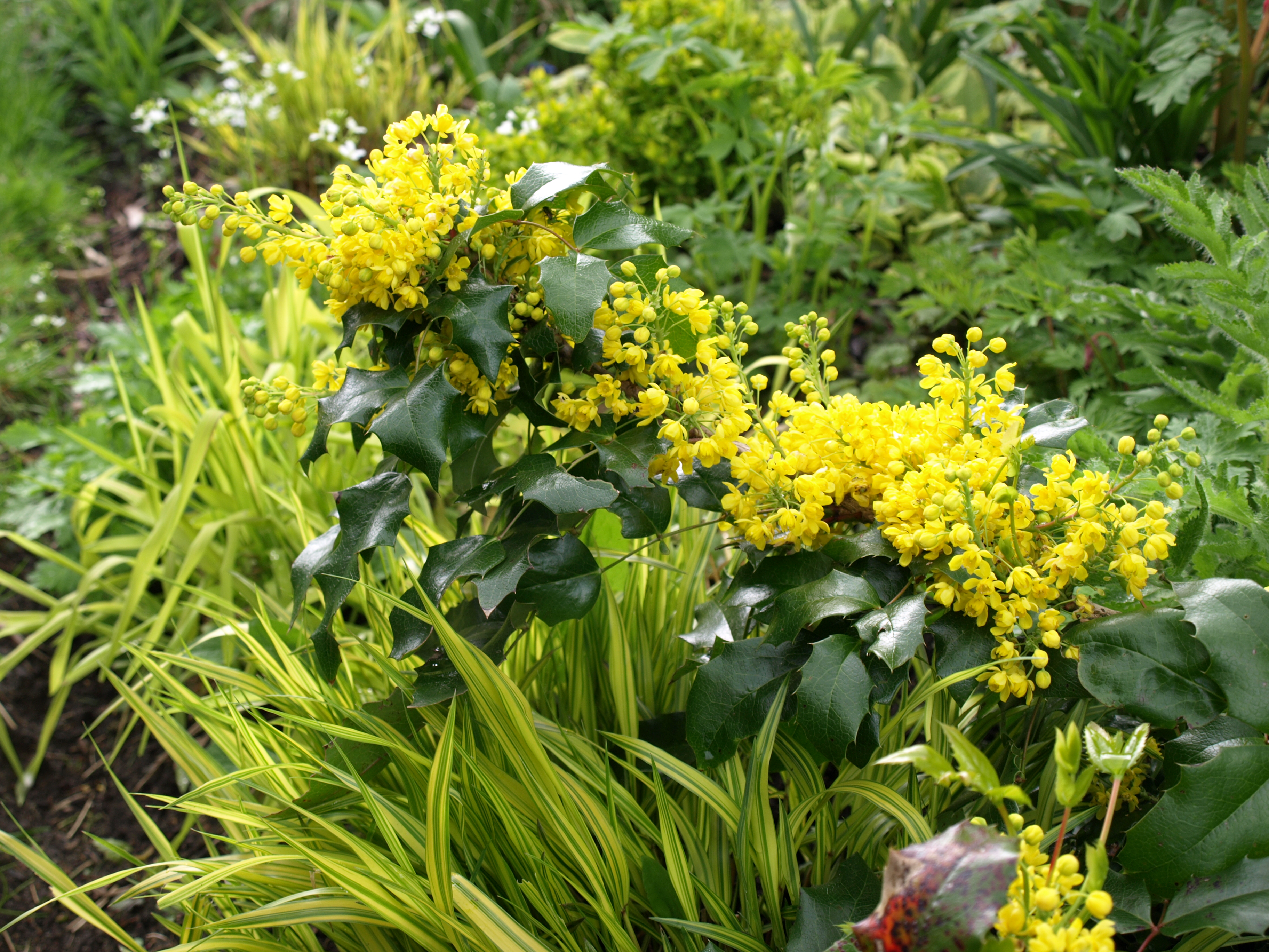 Mahonia aquifolium6304 (3).JPG