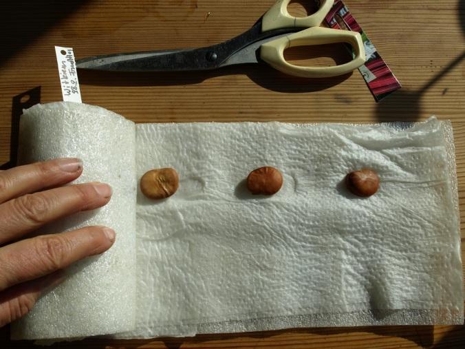 Dicke Bohnen in Rolle